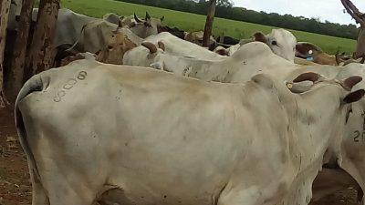 Parâmetros reprodutivos de vacas nelores suplementadas com Cerrado AM Fértil