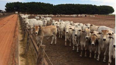 Carta Gestor – A pecuária é um bom negócio?