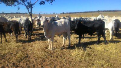 Brasil exportará gado vivo para o Cazaquistão