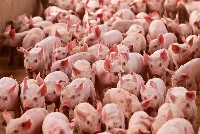 Custo de produção de suínos e frangos recua pela primeira vez em 2021